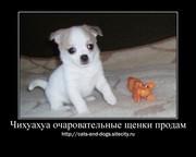 Чихуа-хуа  щеночков  продам
