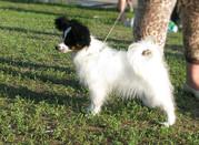 Щенки Папийона, маленькой собачки Фрацузская-Бабочка