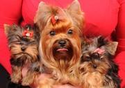 Продаются щенки йоркширского терьера в Донецке.