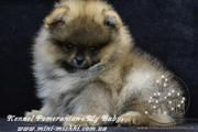 Шикарнейшие щеночки карликового померанского шпица SHOW-Classa!!!