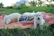 Щенки Белой Овчарки