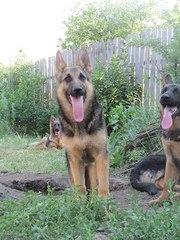 Подрощенные щенки немецкой овчарки. Остались 2 щенка!
