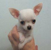 Чихуахуа щенки 2 месяца .Чистокровные!