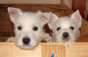 Щенки Вест Хайленд Вайт Терьер (West Highland White Terrier,  вестик,  w