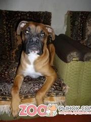 Продам подрощеного щенка Боксера