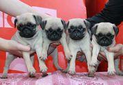 продам за мечателных щенков