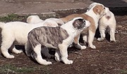 Щенки среднеазиатской овчарки возраст 2 месяца.