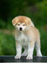 Продам щенков Акита ину